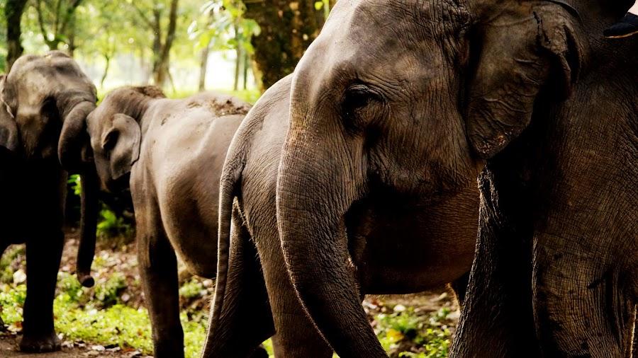 Family by Scott Tetz - Animals Other Mammals ( assam, generations, elephant, india, exotic, mammal,  )