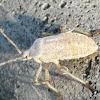 Squash bug nymph
