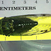 Green Annual Cicada -