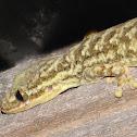Unknown Gecko
