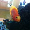 Parrot cichlid
