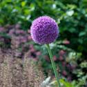 Allium (Giant Onion)