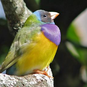 Gouldian Finch by Priscilla Renda McDaniel - Animals Birds ( bird, tree, purple, finch, yellow, small, color,  )
