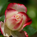 Jacob's Coat hybrid tea Rose