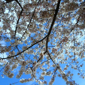 Blooms Against the Sky by Regina Watkins - Nature Up Close Trees & Bushes ( sky, tree, blooms, my place, , Spring, springtime, outdoors )