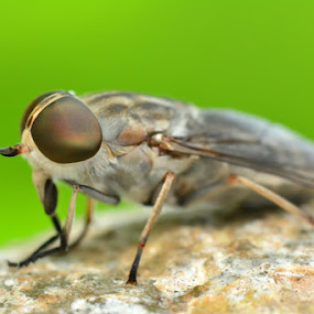 Golden Eye - No Cropping by Stevie Go - Animals Insects & Spiders ( macro, fly, insects, golden, eye, animal )