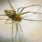 silver orb spider
