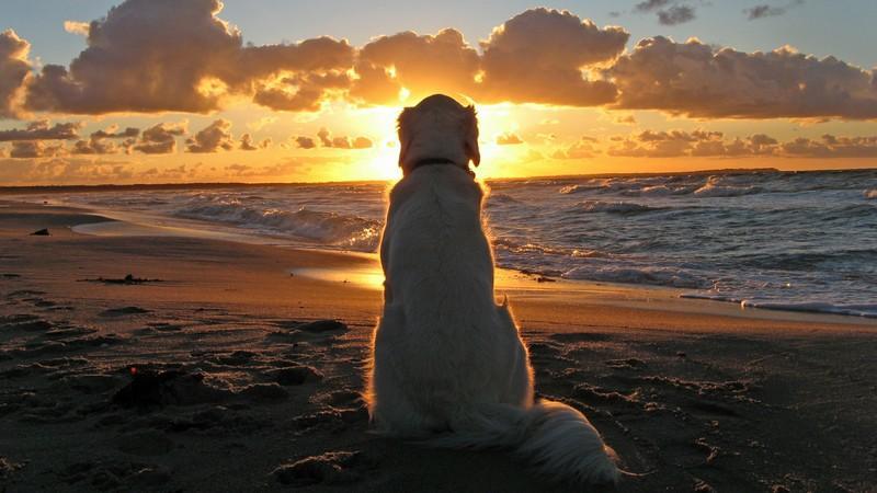 Golden Retriever Wallpaper For Windows 7 Golden Retriever Dog Wallpaper