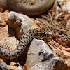 Balkan whip snake (Δενδρογαλιά)
