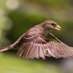 Sparrow by Trevor Bond - Animals Birds ( bird, sparrow flight, sparrow flying, sparrow in flight, nz, bif, sparrow, , fly, flight )