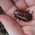 Cockroach (barata da terra)