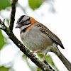 rufous collard sparrow