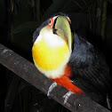 Tucano de bico verde (Tucan)