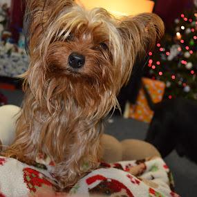 Hi Mom by Shawna Morley - Animals - Dogs Portraits ( dogs, yorkie, christmas, cute )