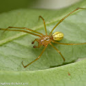 Comb-footed spider (male)