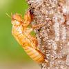 Cicada - exoskeleton moult