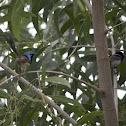 Males of two fairy wren species