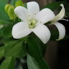orange jasmine