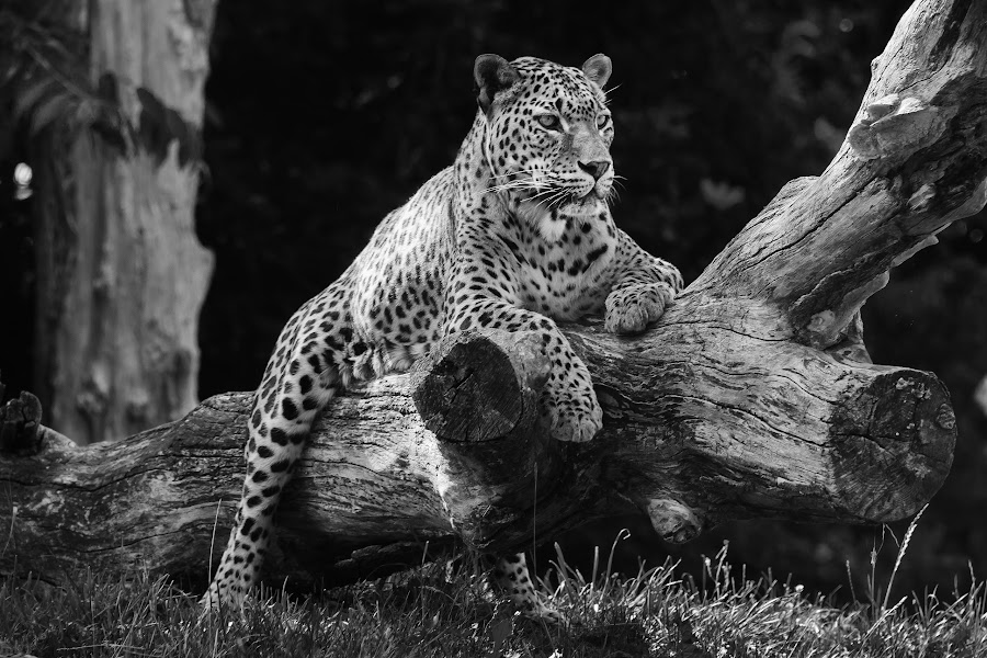 Leopard on a Tree by James Twiddy - Black & White Animals (  )