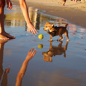 Let's play together by Name of Rose - Animals - Dogs Playing ( playing, ball, reflections, sea, dog )