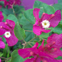 Bougainville, Paper Flower