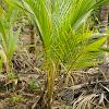 Baby Coconut-Cocos nucifera