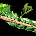 Blue Mormon Caterpillar