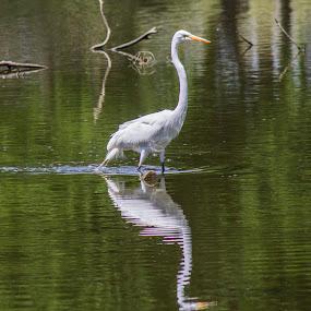 Crane by Ron Pierce - Animals Birds ( bird, water, wild, color, artistic )