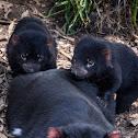 Tasmanian Devil and imps