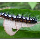Autumn Leaf Caterpillar