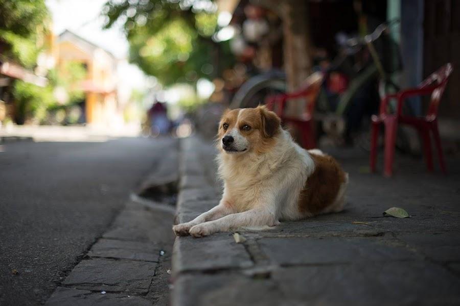 Street dog, Hoi An, Vietnam by Adam Lorrimer-Roberts - Animals - Dogs Portraits