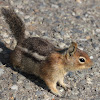 Cascade Golden-mantled Ground  Squirrel