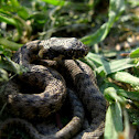 Natricine water snake
