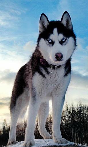 Huskies Dogs Wallpapers
