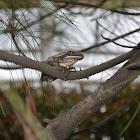 striped tree frog