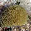 Elliptical Star Coral