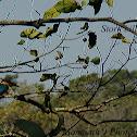 Stork billed kingfisher