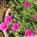 Portulaca Hot Pink Flower