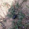 Darling beetle