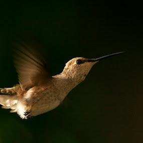 Black-chinned Female by Andrew Johnson - Animals Birds ( bird, nature, hummingbird, garden, animal, , fly, flight )