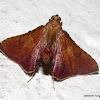 Pyralidae, Pyralinae -