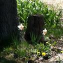 Tazeta daffodil
