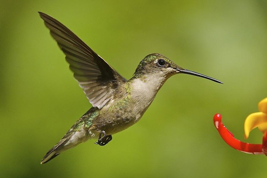 . by Roy Walter - Animals Birds ( wild, flight, animals, nature, wings, hummingbird, feathers, birds )