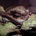 Pond Bat