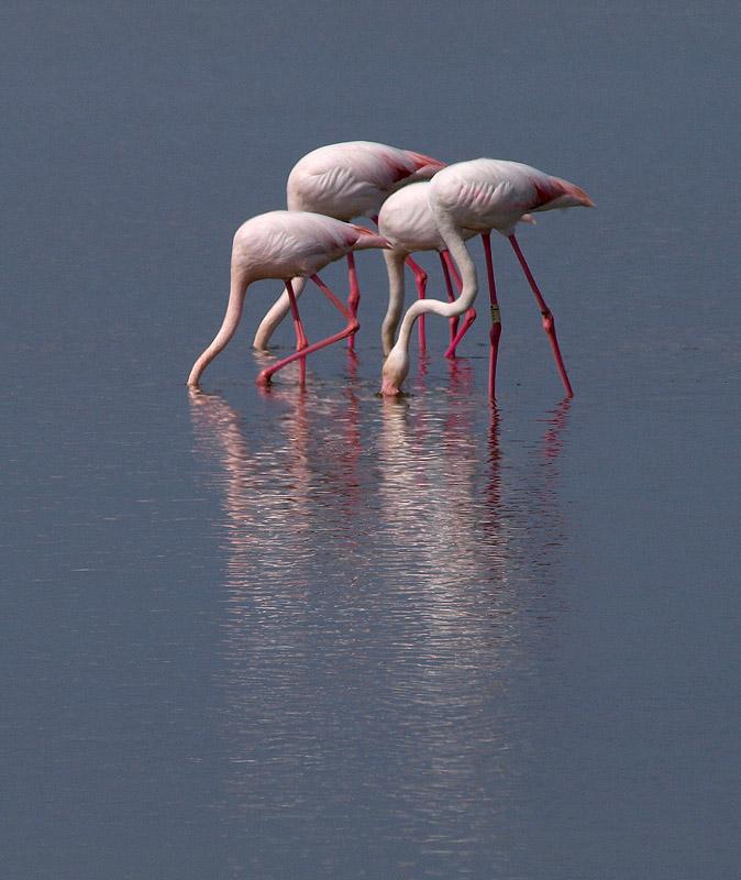Flamenco (Greater Flamingo)