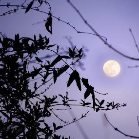 Lavender moon by Andrew Hale - Landscapes Starscapes ( moon, nature, trees, lavender, dusk,  )