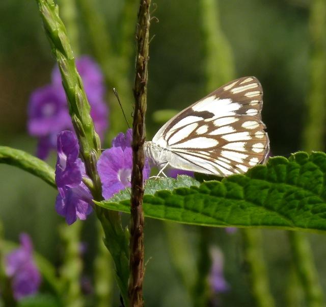 Pioneer (Dry Season White Form)