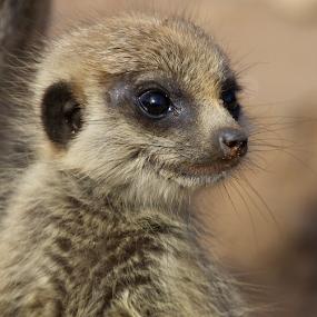 Watchful Meercat by John Dutton - Animals Other Mammals ( desert, baby, rodent, meercat, mammal )