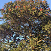 African tulip tree (African Flame)