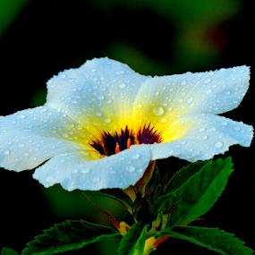 White Alder by Yusop Sulaiman - Flowers Single Flower